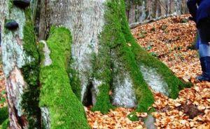 8 - Scrisoarea ursului brun din Pădurea Șincii